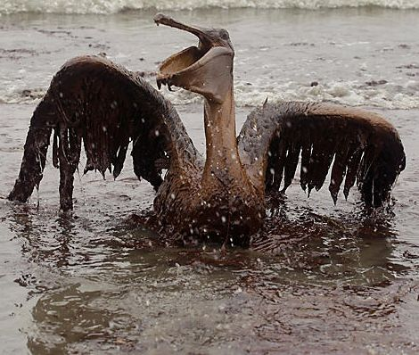 Screenshot: A brown, oil-covered pelican is seen on the beach at East Grand Terre Island along the Louisiana coast on June 3, 2010.